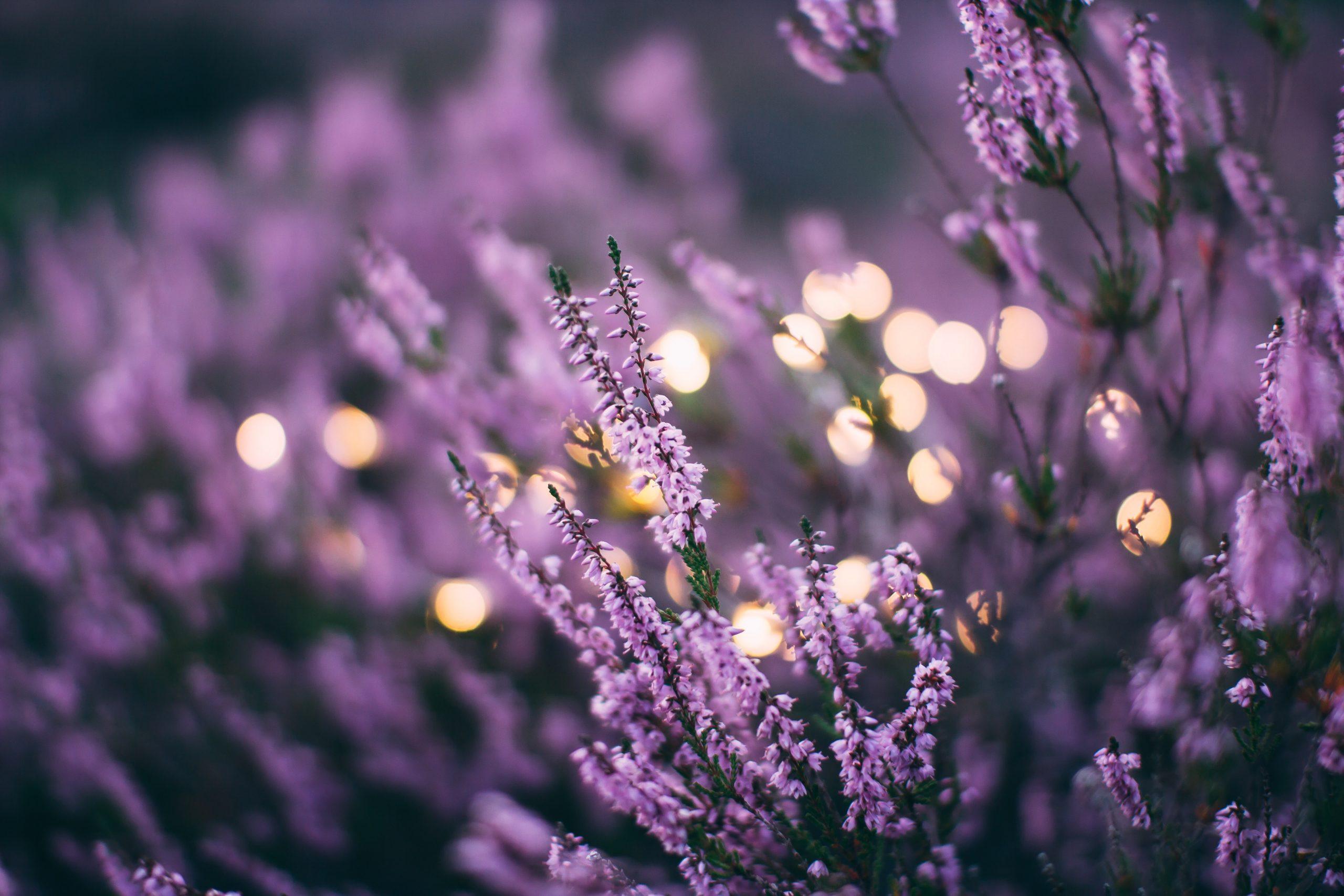 lavande aromatherapie